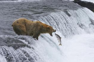 Brown bears catch salmon in Katmai National Park and Preserve in Alaska. Courtesy of MacGillivray Freeman Films. Photographer: Brad Ohlund. VisitTheUSA.com