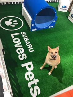 Subaru of America, Inc. partners with ALIVE Rescue and Hopeful Tails Animal Rescue for adoption event inside booth at the Chicago Auto Show.