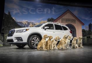 Subaru debuted the all-new 2019 Ascent SUV at the L.A. Auto Show in the most Subaru way possible- with The Barkleys- a family of eight Labrador and Golden Retrievers featured in Subaru advertising.